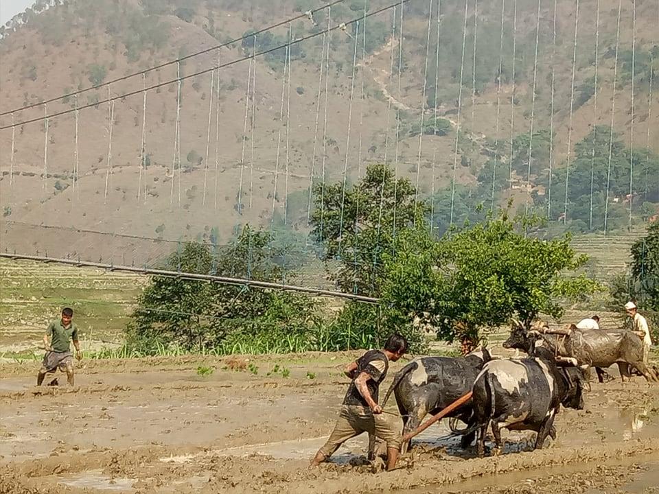 सुदूरपश्चिमको पहाडी जिल्ला बैतडीको डिलासैनी गाउँपालिका वडा नम्बर ४ नुवाकोटमा रोपाईमा व्यस्त किसान