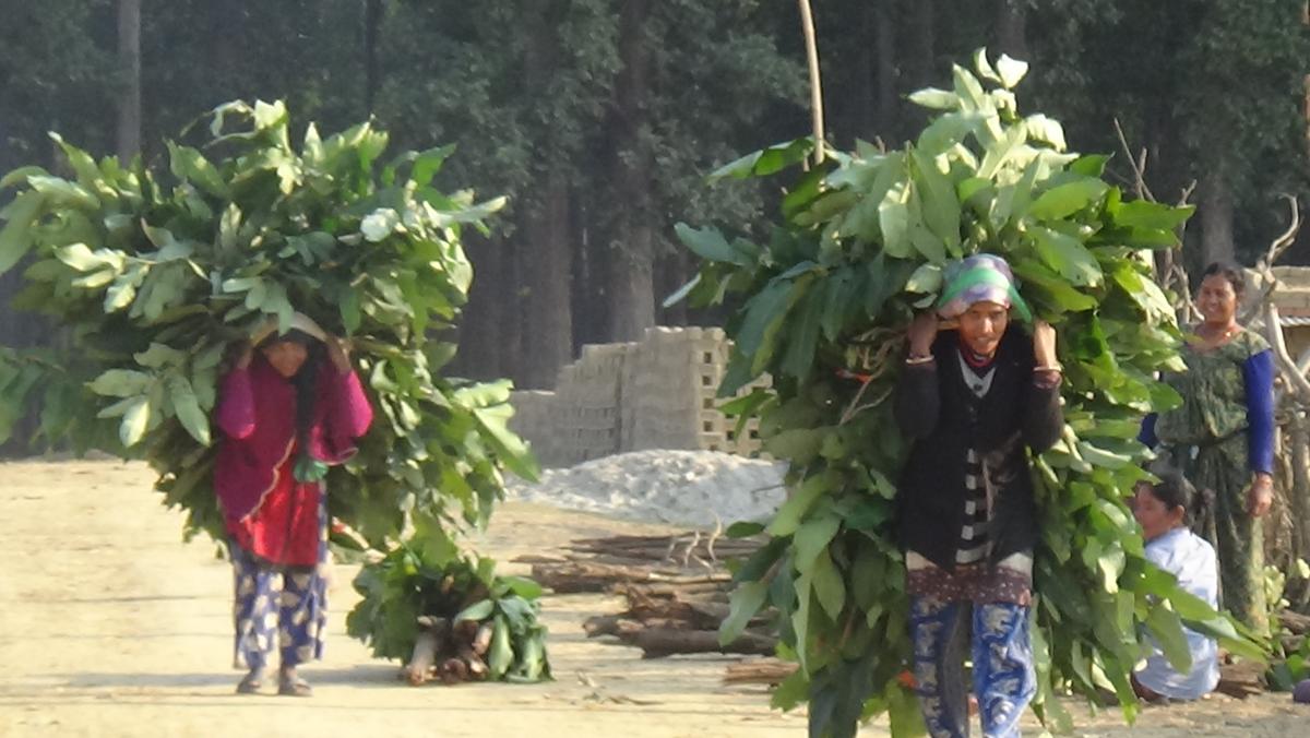 नेपाल भारत सीमा अन्तरगत कञ्चनपुरको पुर्नवास नगरपालिकामा घाँसको भारी ल्याएर आउँदै गरेका महिलाहरु