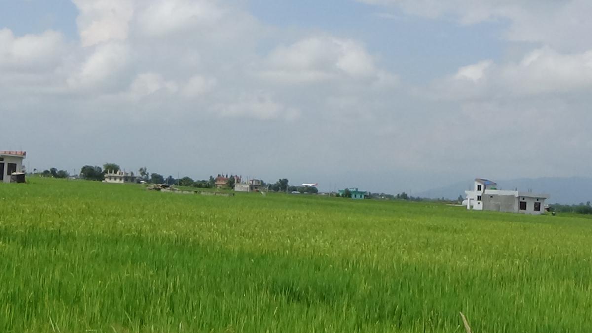बेला क्षेत्रको हराभरा धान खेत।