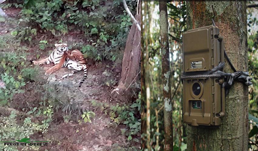 कैलालीमा देखिएको नरभक्षी पाटे बाघ, फोटो सौजन्यः डिभिजन वन कैलाली