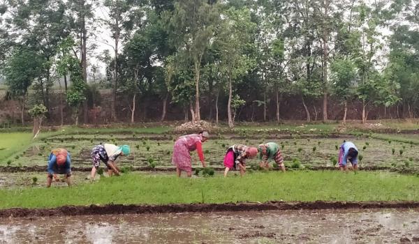 पश्चिम तराईका दुई जिल्ला कैलाली र कञ्चनपुरमा पनि रोपाईको चटारो लागेको छ। कञ्चनपुर सदरमुकाम महेन्द्रनगरको गोवरियामा धान रोप्दै किसान