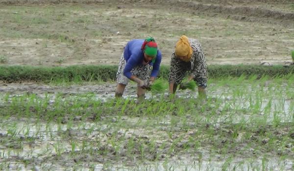 कञ्चनपुरको बेलौरीका किसान असार लागेसँगै रोपाइँ गर्दै।