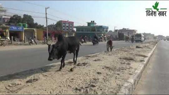 Embedded thumbnail for धनगढीका सडकमा छाडा पशुचौपायाका कारण दुर्घटनाको जोखिम अझ बढ्दै